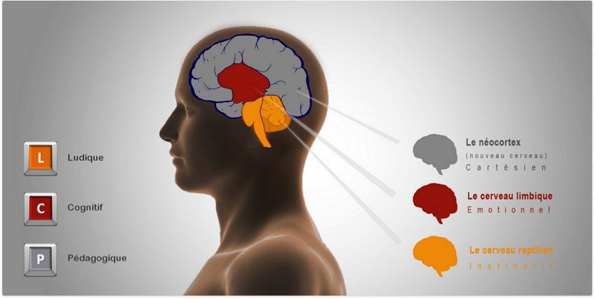 cerveau reptilien - limbique - neocortex. Sources : youbrain